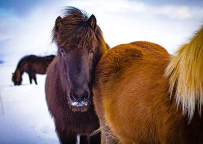 Islandzkie kuce to bardzo przyjacielskie stworzenia - fot. Kopaniszyn Piotr