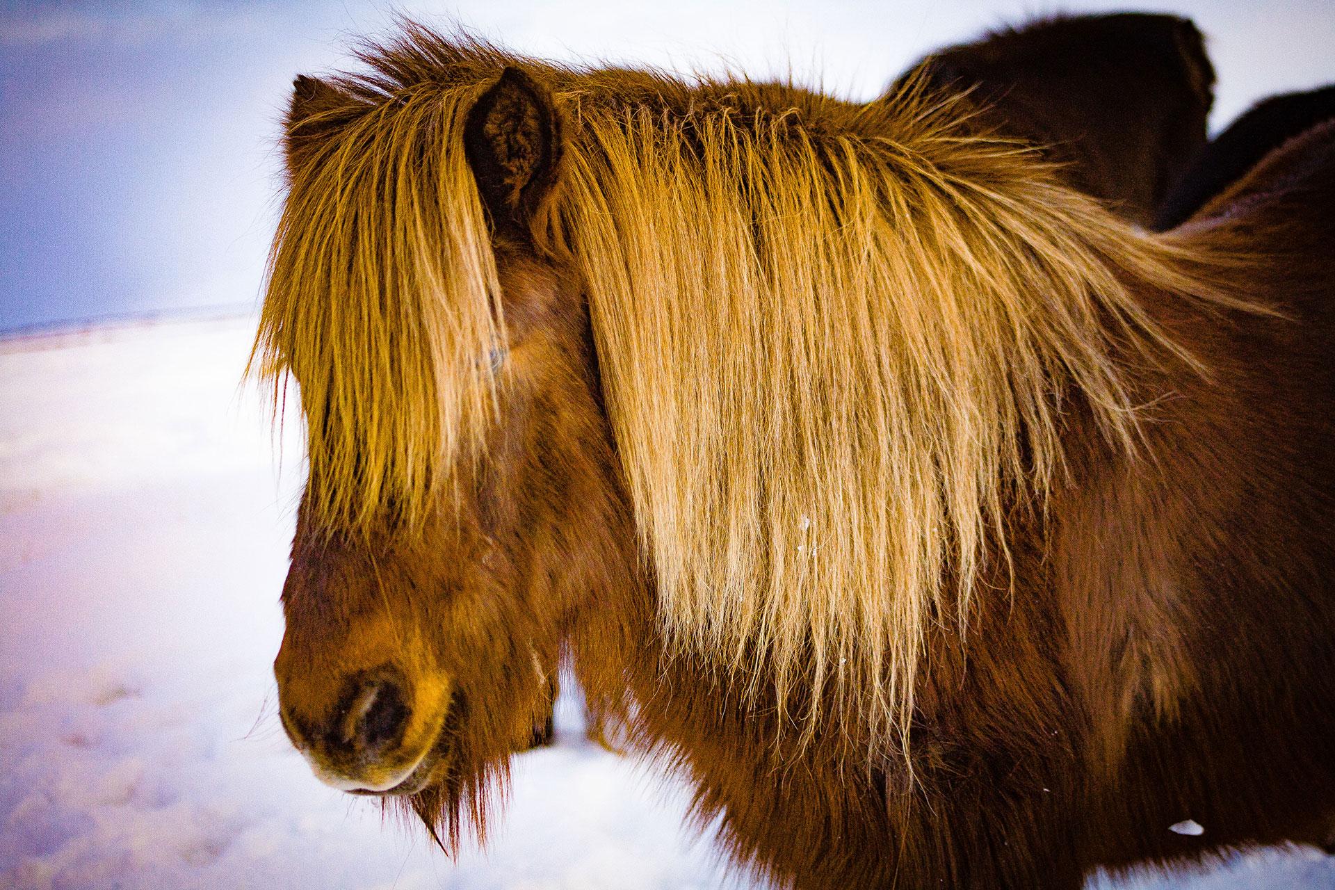 Kuce Islandzkie - fot. Piotr Kopaniszyn