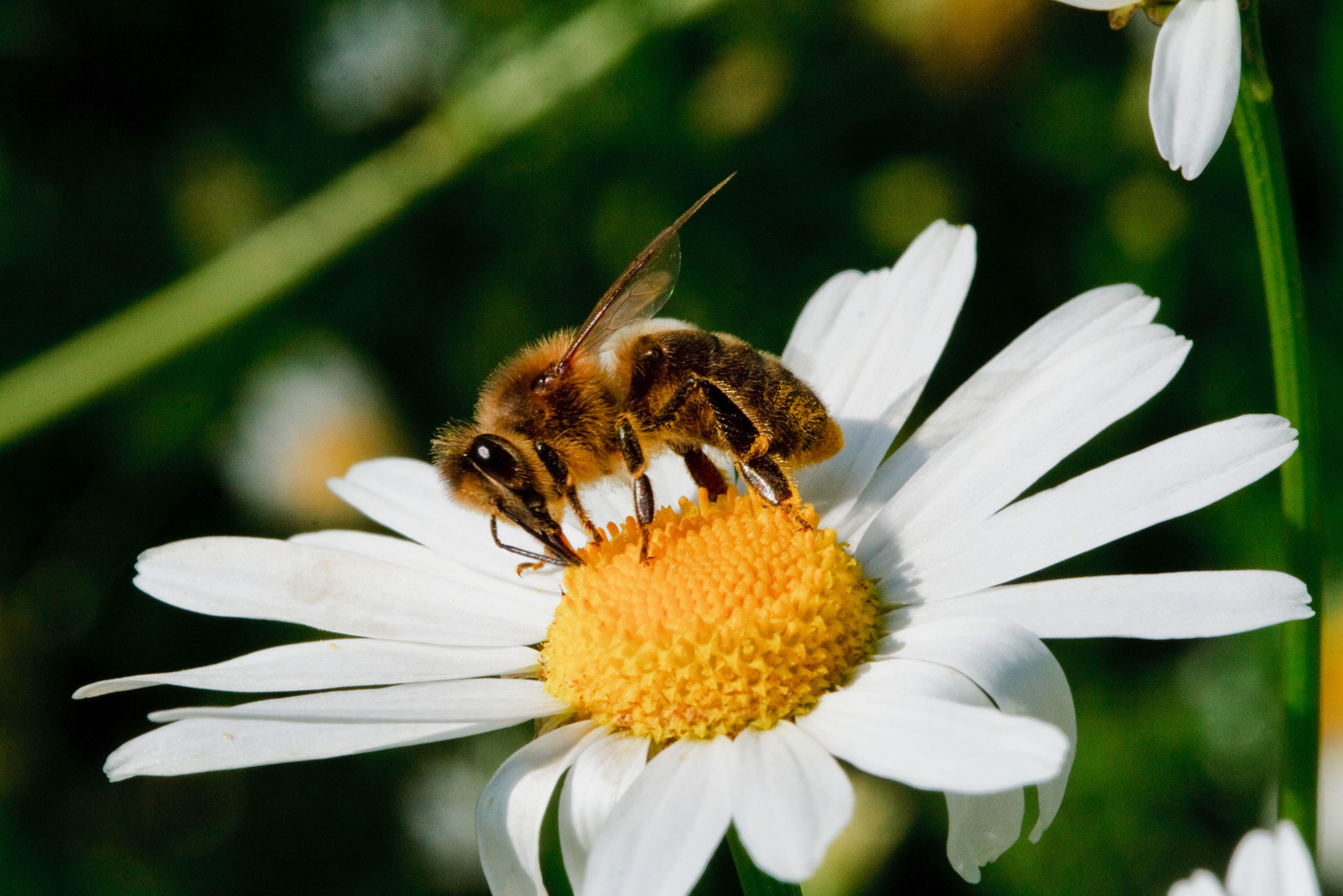 zapylająca kwiat pszczoła (fot. Piotr Kopaniszyn)